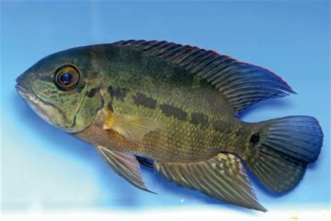 Lu Aquarium Arwana arowana fish tank mates best fish 2017