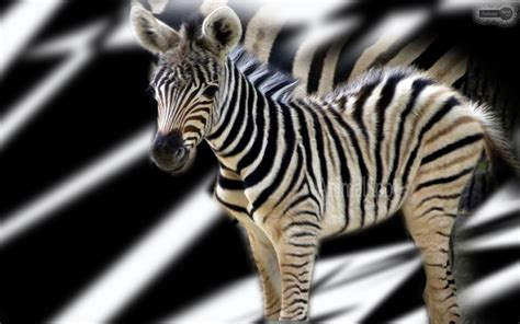cool zebra wallpaper zebra wallpapers animal spot