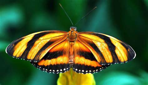 tigre y mariposa imagenes colores de las alas de las mariposas im 225 genes y fotos