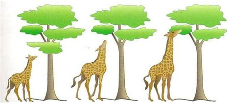 imagenes de las jirafas de darwin evoluci 243 n teor 237 a el uso y desuso