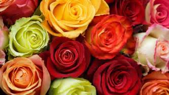 colored roses wallpapers photo wallpaper flowers roses