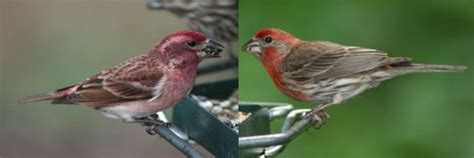 difference between house finch and purple finch purple finch vs house finch our feathered friends