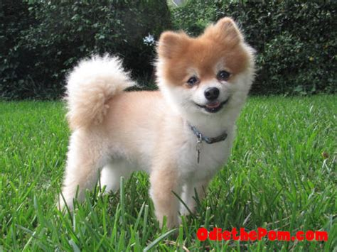 summer haircut pomeranian pomeranian haircuts for summer