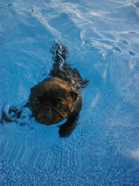 do pugs swim 17 best images about pets in the pool on swim for dogs and pets