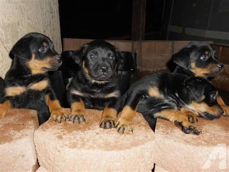 rottweiler puppies for sale in california german rottweiler puppies for sale in apple valley california classified