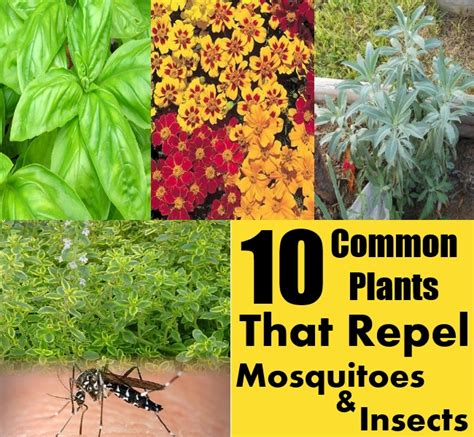 Plants That Repel Mosquitoes by 10 Common Plants That Repel Mosquitoes And Insects Diy