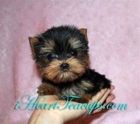 names for teacup yorkies micro teacup yorkie puppy quot sprinkles quot iheartteacups