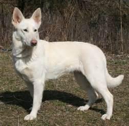Caucasian White Shepherd » Home Design 2017