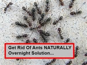 Organic Ant Killer The Very Best Homemade Ant Killer Works In 24 Hours