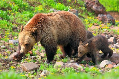 Grizzly Bears Yellowstone National Park U S National Park Service - tribal opposition leads to delay on status of yellowstone