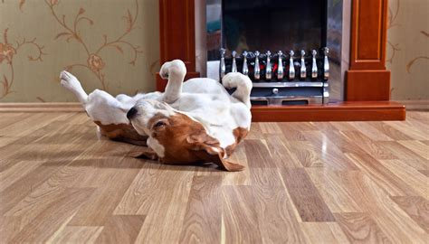 Pets and Hardwood Flooring: Can they Coexist?   Costen Floors