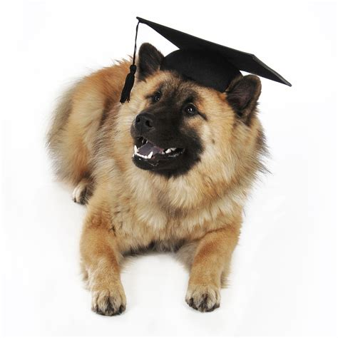 www dogs student eurasier photo and wallpaper beautiful student eurasier pictures