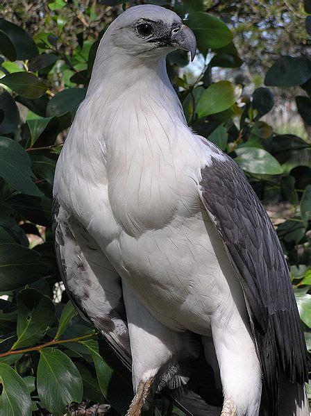 Wolverine Putih elang laut dada putih bahasa indonesia