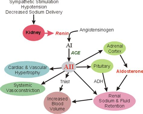 cv pharmacology | angiotensin converting enzyme (ace