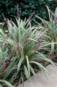 getting the most from your liriope ground cover state by