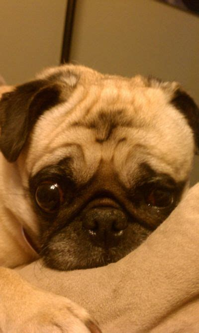 pug rescue virginia best 25 pug rescue ideas on pug puppies pugs and pug rescue near me