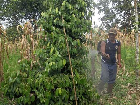 Masker Pestisida aplikasi pestisida biologi pada lada agrokompleks mmc