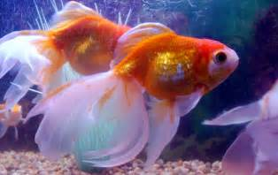 COMPANY Commen Goldfish diseases, causes, treatment, and prevention