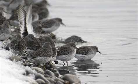 rock sandpipers are tough homer spit christmas bird