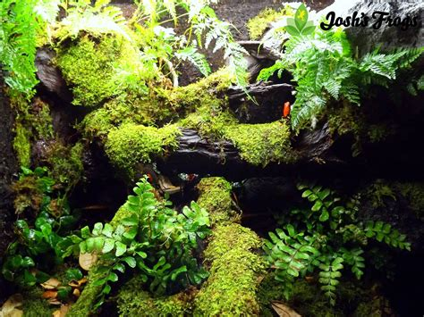 growing moss   boss joshs frogs