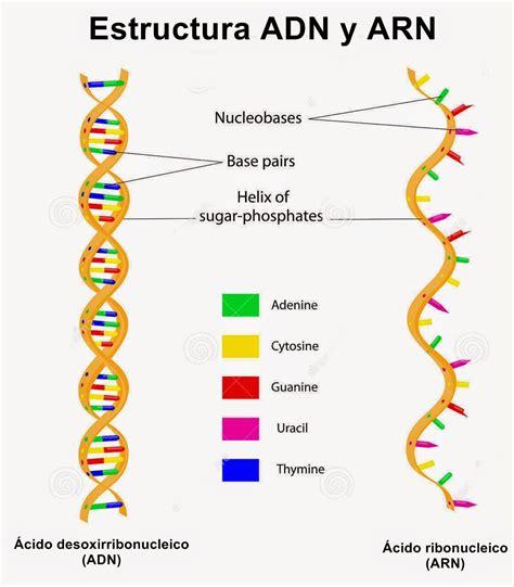 numero de cadenas en el adn y arn 193 cidos nucleicos 225 cido desoxirribonucleico adn y 225 cido