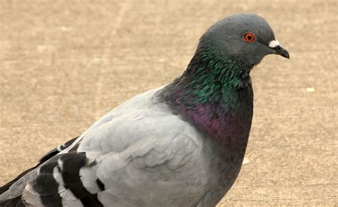 free stock photo of pigeon public domain photo cc0 images