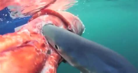 baby shark eating shark eats giant squid right after fisherman finds giant