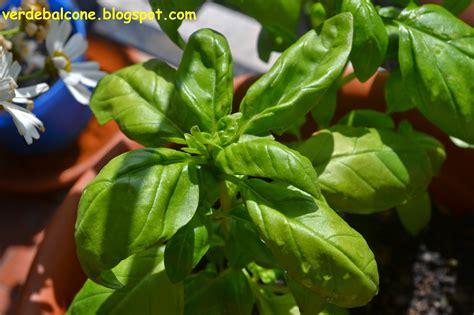 come si coltiva il limone in vaso verde balcone basilico scheda di riconoscimento e