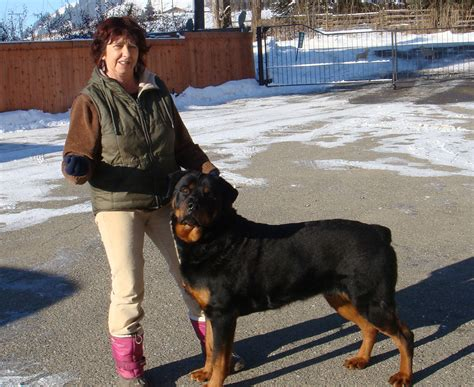 rottweiler rescue bc rottweiler rescues bc dogs our friends photo