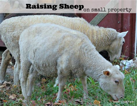 rising sheep raising sheep without grazing pastures timber creek farm