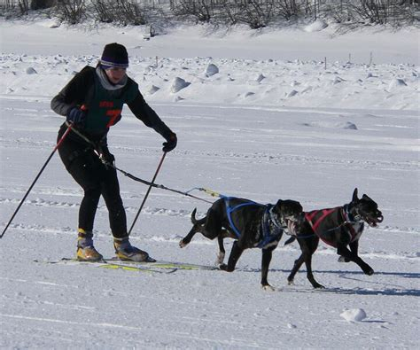 dogs on skis skijoring winter sport where a person on skis is pulled by a