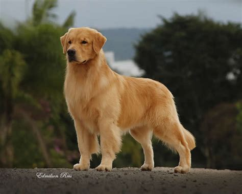 canil golden retriever golden retriever venda assistedlivingcares