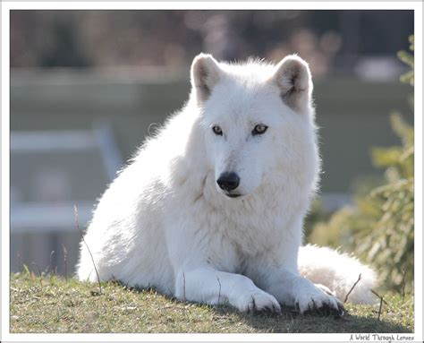 arctic wolf puppies nature a world through lenses