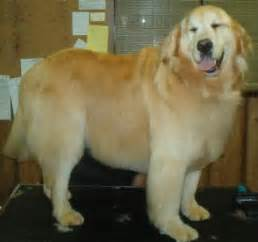 do golden retrievers need haircuts pantops pet salon spa charlottesville s professional grooming
