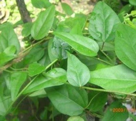 tanaman cincau hijau minyak bibitbungacom