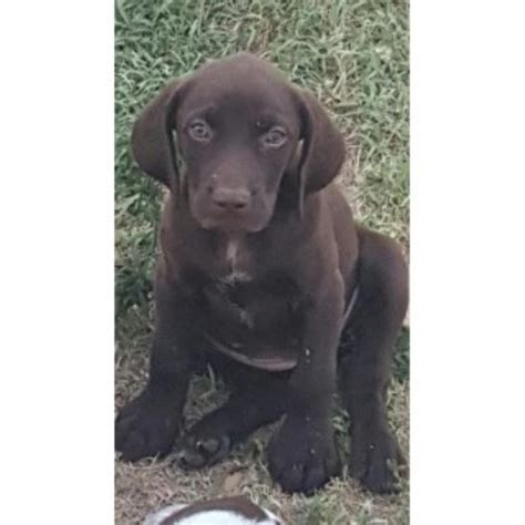 german shorthaired pointer puppies rescue german shorthaired pointer puppies and dogs for sale and adoption freedoglistings