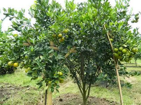 Pohon Jeruk tak bisa tanam padi petani di lung timur budidayakan