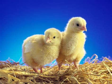 pollos 1   LOS DISCIPULOS DE YAHSHUA DE NAZARET   Gabitos