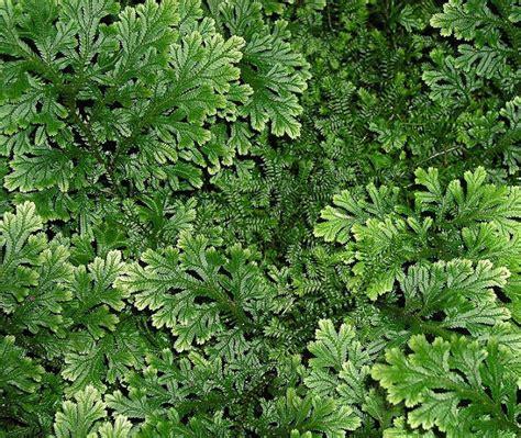 tanaman hias daun  populer  masyarakat tips petani
