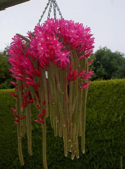 bunga kaktus  kupu kupu ammah blog