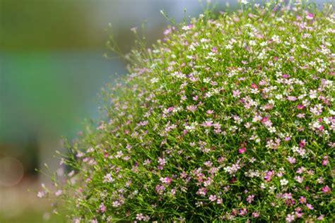 schleierkraut trocknen schleierkraut 187 pflanzen pflegen schneiden und mehr