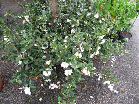 camelia sasanqua in vaso camellia sasanqua garden it