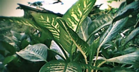 bisa tanaman hias daun