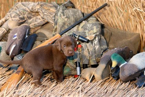 duck dogs how to a to retrieve duck hunt pioneer settler