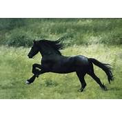 Black Stallion Running Horse Art Posters Prints And