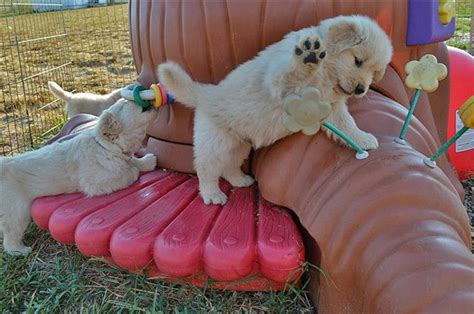 atlanta golden retriever puppies about breeders golden retriever club of america