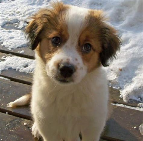 border collie pug mix puppies i want him bernard border collie mix nuggets chihuahuas st