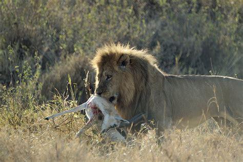 imagenes de leones cazando jirafas image gallery leones cazando su presa