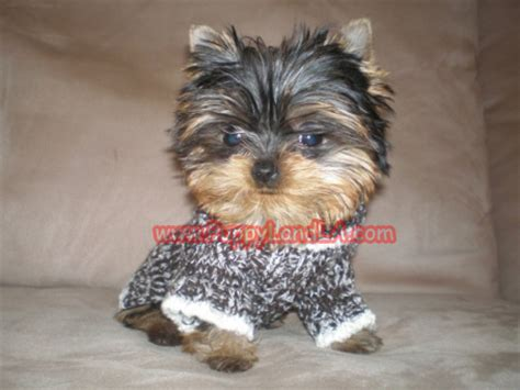 teacup yorkie sweaters puppylandla yorkies maltese breeders teacup yorkie teacup maltese pet shop