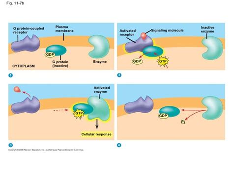 g protein coupled receptors animation chapter 11 textbook presentation
